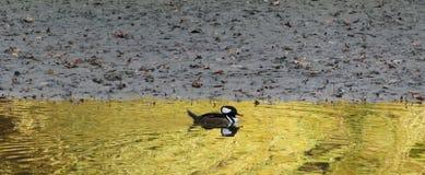 Harle à gorge rouge sur le lac d'or II Image libre de droits