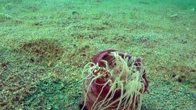 Harlekijn het zwemmen laevis van krablissocarcinus in de anemoon Cerianthus SP van de Lavendelbuis 6 in de koralen in het Zoeloes stock footage