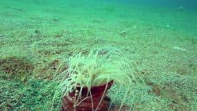 Harlekijn het zwemmen laevis van krablissocarcinus in de anemoon Cerianthus SP van de Lavendelbuis 6 in de koralen in het Zoeloes stock videobeelden