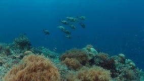Harlekijn Sweetlips op een koraalrif Stock Foto's