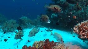 Harlekijn Sweetlips op een koraalrif Royalty-vrije Stock Foto's