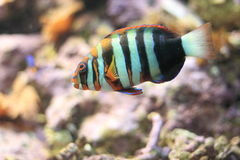 Harlekijn Tuskfish stock foto's