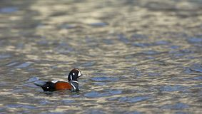 Harlekijneend, Harlequin Duck, Histrionicus histrionicus royalty free stock photography