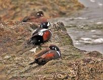 Harlekijneenden die op de rotsen zonnebaden stock foto