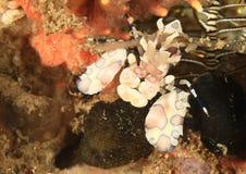 Harlekijngarnalen - Hymenocera elegans Stock Afbeelding
