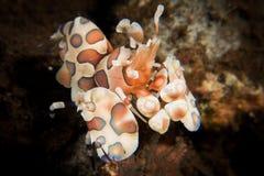 Harlekijngarnalen - Hymenocera-picta stock foto's