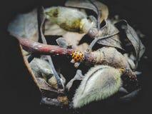 Harlekijnonzelieveheersbeestje stock fotografie