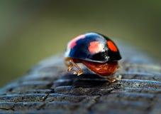 Harlekijnonzelieveheersbeestje die weggaan stock afbeelding