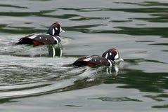 Harlekin-Enten auf grünem Wasser Lizenzfreies Stockfoto