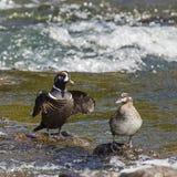 Harlekin-Enten, die Ritual an LeHardy-Stromschnellen verbinden Lizenzfreie Stockfotos