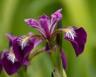 Harlekin-, größere oder Nordblauer sumpf-schwertlilie, Iris Stockfoto