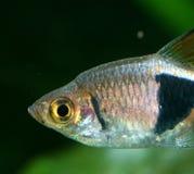 Harlekin rasbora (Trigonostigma heteromorpha) Lizenzfreies Stockfoto