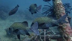 Harlekin Sweetlips-Fische lizenzfreie stockbilder