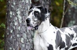 HarlekinGreat dane hund Arkivfoton