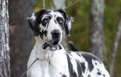 HarlekinGreat dane hund Arkivfoto