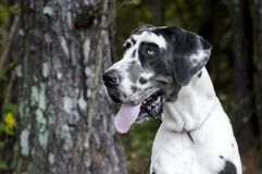 HarlekinGreat dane hund Arkivbild