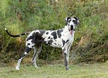 HarlekinGreat dane hund Royaltyfri Fotografi