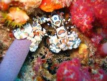 harlequin γαρίδες Στοκ εικόνα με δικαίωμα ελεύθερης χρήσης