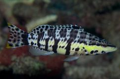 Harlequin Bass-Serranus tigrinus. Picture taken in south east Florida Royalty Free Stock Photography