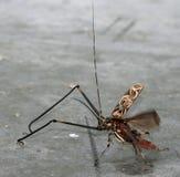 Harlequin Beetle Royalty Free Stock Photo