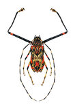 Harlequin Beetle Stock Photos
