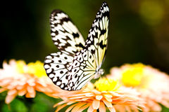 Harlequin Butterfly. On a flower Stock Photos