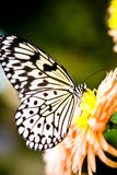 Harlequin Butterfly. On a flower Royalty Free Stock Photography