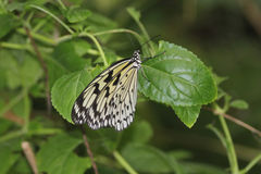 Paper Kite, Rice Paper or Large Tree Nymph Butterf Royalty Free Stock Images