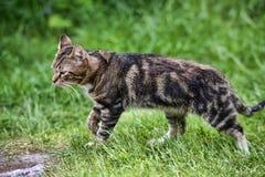 Harlequin cat Stock Photos