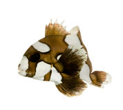 Harlequin or clown sweetlips - Plectorhynchus chae Royalty Free Stock Photography