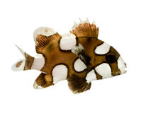 Harlequin or clown sweetlips - Plectorhynchus chae Royalty Free Stock Photo