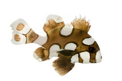 Harlequin or clown sweetlips - Plectorhynchus chae Stock Photos