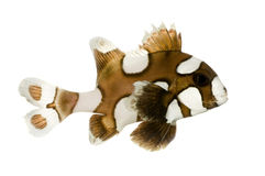 Harlequin or clown sweetlips - Plectorhynchus chae Stock Images