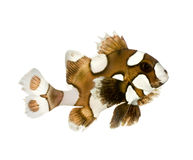Harlequin or clown sweetlips - Plectorhynchus chae Royalty Free Stock Images