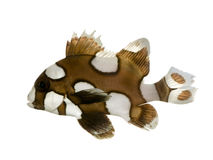 Harlequin or clown sweetlips - Plectorhynchus chae Royalty Free Stock Photos