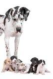 Harlequin del gran danés con los perritos Fotos de archivo libres de regalías