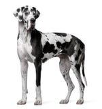 Harlequin do grande dinamarquês, 4 anos velho, posição Imagem de Stock