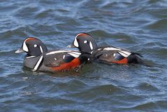 Free Harlequin Duck Stock Images - 28306354
