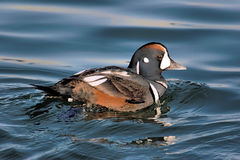 Harlequin Duck Royalty Free Stock Images