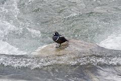 Harlequin duck. Stock Photography