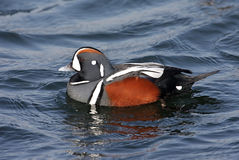Free Harlequin Duck Stock Photo - 8085820