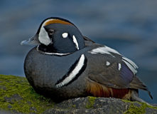 Harlequin Duck Stock Photography