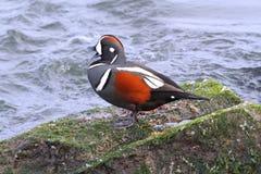 Harlequin Duck stock image