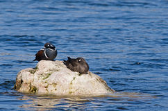 Harlequin duck couple resting Stock Photos