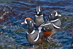 Harlequin Duck (Histrionicus histrionicus) Royalty Free Stock Photos