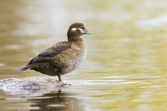 Harlequin duck Royalty Free Stock Photography