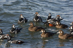 Harlequin duck, Histrionicus histrionicus, Royalty Free Stock Photography