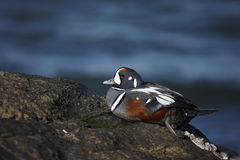 Harlequin duck, Histrionicus histrionicus, Royalty Free Stock Photo