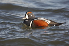 Harlequin duck, Histrionicus histrionicus, Royalty Free Stock Image