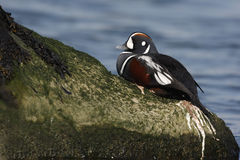 Harlequin duck, Histrionicus histrionicus, Royalty Free Stock Images
